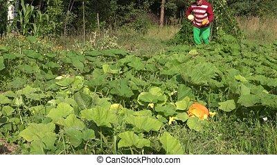 Farmer cowboy harvest zucchini plants and walk through farm...
