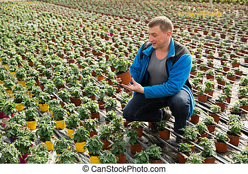 Farmer cultivating tomatoes