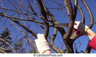 farmer cut prune apple tree branch