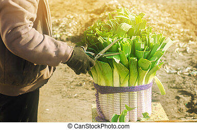 Farmer cutting the leaves leek with scissors. Harvest. Harvesting. Agriculture and farming. Freshly picked. Agribusiness. Agro industry. Growing Organic Vegetables. Marketable condition