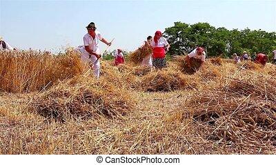 Farmer cutting wheat - Farmers reaping wheat in the...