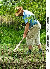 Senior farmer digging cultivated spring onion in his garden