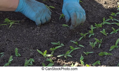 Farmer dives tomato seedlings - Farmer plants tomato...