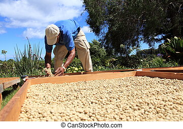Farmer drying coffee beans in sun - The process of drying...
