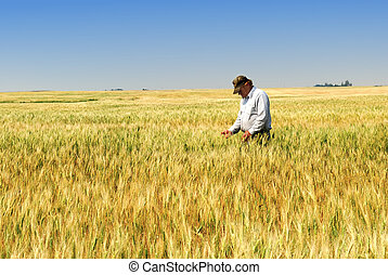 Agriculture: a prairie farmer inspects durum wheat field approaching maturity.
