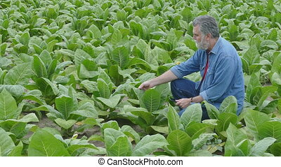 Farmer examine tobacco plant in field using tablet, 4K footage