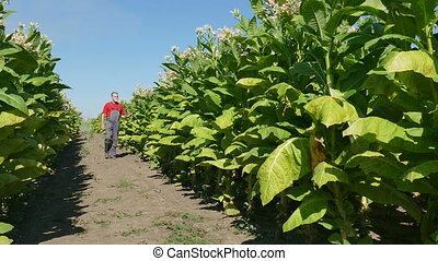 Farmer examine tobacco field