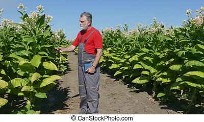 Farmer or agronomist examine blossoming tobacco plant in field using tablet