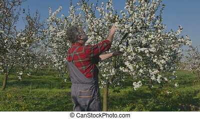Farmer examining blossoming cherry orchard