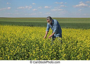 Farmer examining blossoming rapeseed field in spring