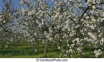 Farmer examining cherry trees