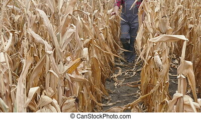 Farmer examining corn plant in field, harvest time