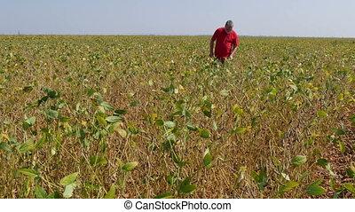Farmer examining soybean field - Farmer or agronomist...