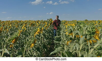 Farmer examining sunflower field