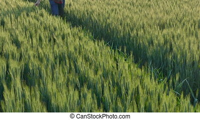 Farmer examining wheat plant field