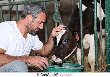 Farmer feeding and stroking calf