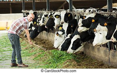 Farmer feeding cows with grass in farm. - Smiling aged ...