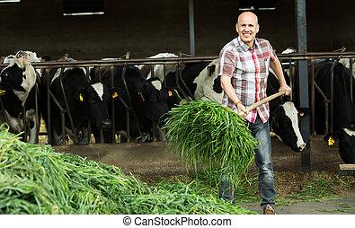 Farmer feeding cows with grass in farm. - Smiling mature ...