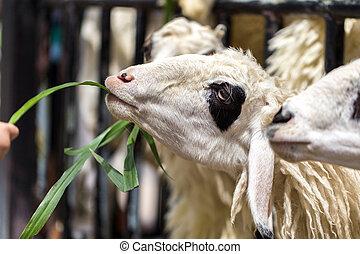 Farmer Feeding Grass to Goat in Farm