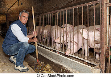 Farmer feeding pigs