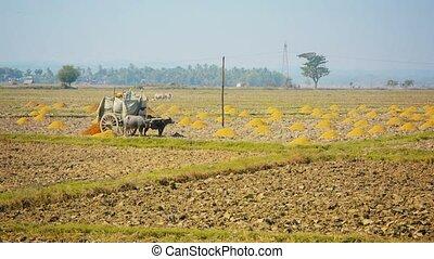 Farmer fertilizes the field with rice husk. Burma - Video...