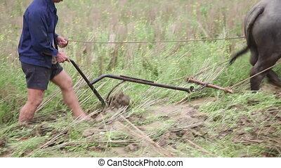 Farmer follow the plow with bull