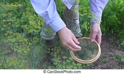 gardener pick fresh dill in garden
