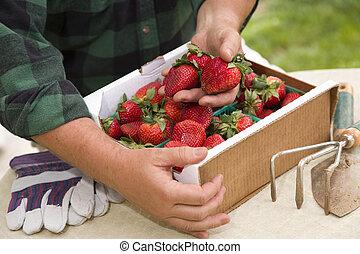 Farmer Gathering Fresh Strawberries in Baskets