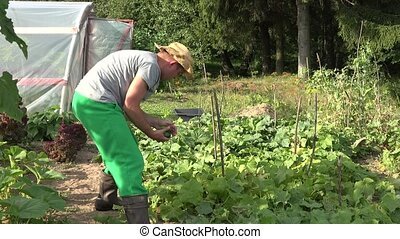Farmer grower man with hat harvesting cucumbers vegetables yield on farm plantation. 4K