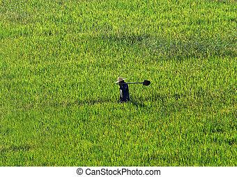 farmer, gyalogló, át, egy, búza terep