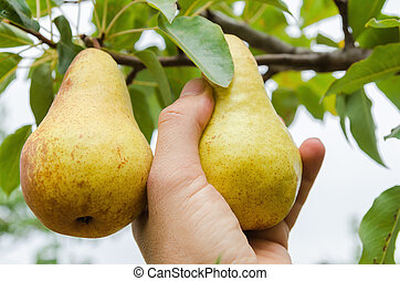 farmer hand collects a crop of pears from a tree
