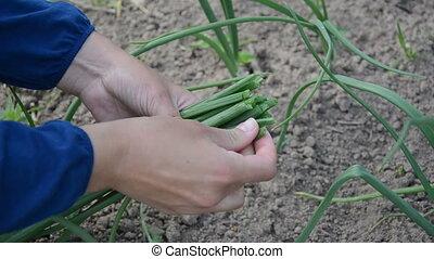 farmer hand onion leaf - farmer hand with sheaf of young...
