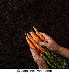 Farmer hands holding freshly harvested carrots