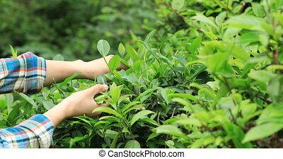 Farmer hands picking tea leaves on farm in spring