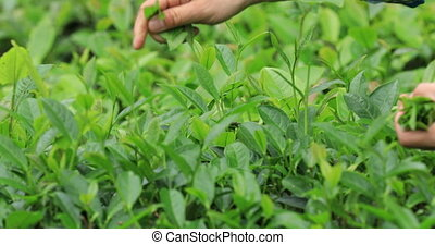 Farmer hands picking tea leaves on farm in spring