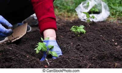 Farmer hands plant a young plant seedlings in the soil in spring. Organic farming and spring gardening