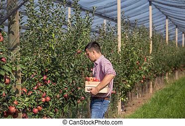 Farmer harvesting apples in orchard