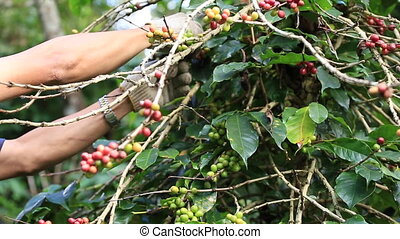 Farmer harvesting coffee beans