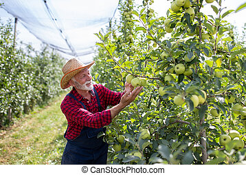 Farmer harvesting golden delicious apples in orchard