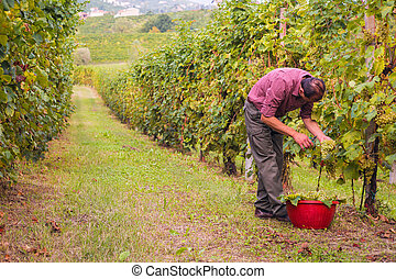 Farmer harvesting grapes in vineyard