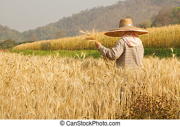 Farmer harvesting paddy in Wheat field