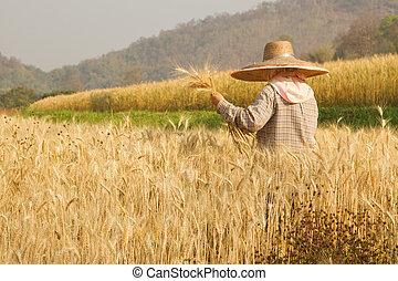 Farmer harvesting paddy in Wheat field