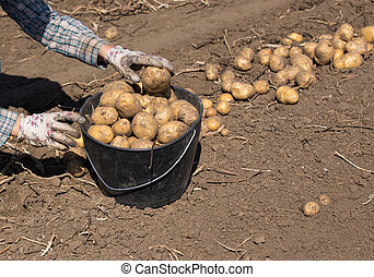 Farmer harvesting potatoes in field