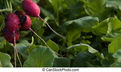 Farmer harvesting radish - Close-up shot of a farmer picking...