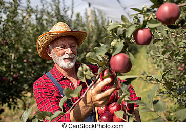Farmer harvesting red apples in orchard