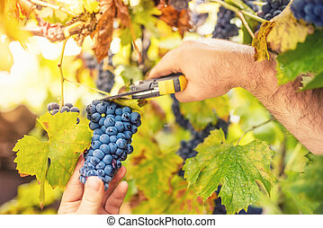 farmer harvesting ripe grapes in vineyard on an autumnal sunny day