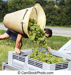 farmer harvesting the grapes during the harvest