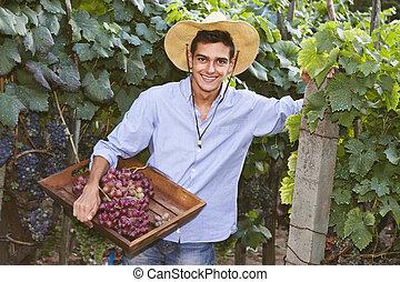 farmer harvesting the grapes in the vineyard