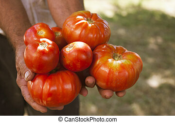 farmer harvesting tomatoes