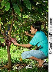 farmer hold cacao pod - woman farmer hold red cacao pod on...